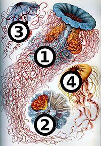Haeckel Discomedusae 8 big spots.jpg