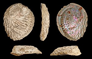 Haliotis midae - Five views of a shell of Haliotis midae