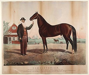 Tennessee Walking Horse - Hambletonian 10, the foundation stallion of the family that produced Black Allan