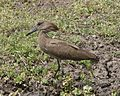 Hammerkop (Scopus umbretta) - Flickr - Lip Kee (1).jpg