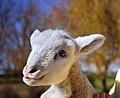 Happy Lamb - Flickr - Barb Henry.jpg