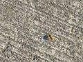 Harderbos - Gestreepte eikenblindwants (Rhabdomiris striatellus) distance.jpg