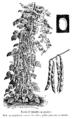 Haricot Quatre-à-quatre Vilmorin-Andrieux 1904.png