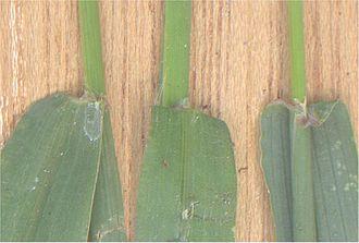 Digitaria sanguinalis - Image: Harig vingergras ligula (Digitaria sanguinalis)