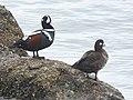 Harlequin Duck (31751405738).jpg