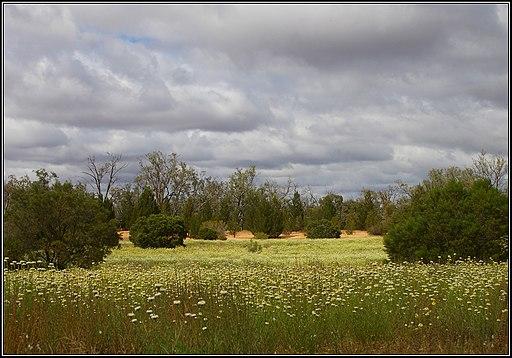 Hattah-Kulkyne National Park, dunes and swathes of 'Poached egg daisy', Polycalymma stuartii. Peter Neaum. - panoramio