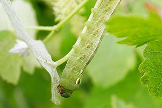 Sphingidae - Vine hawk moth larva (Hippotion celerio)