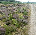 Heather and self sown pines - geograph.org.uk - 1439602.jpg