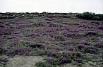 Heathland on Headon Warren - geograph.org.uk - 1549072.jpg