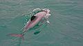 Hector's dolphin.jpg