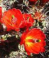Hedgehog cactus with red flowers.jpg