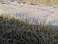 Hedon Haven Sunlit Reeds and Mudbanks - geograph.org.uk - 766518.jpg
