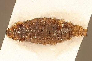 Helaeomyia petrolei - Larva of H. petrolei