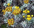 Helichrysum splendidum (25126646120).jpg