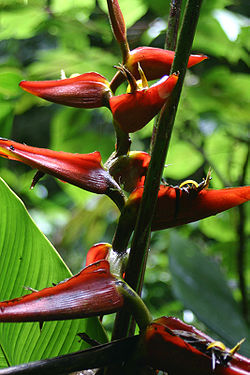 Heliconia-tortuosa.jpg
