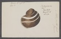 Helix pulla - - Print - Iconographia Zoologica - Special Collections University of Amsterdam - UBAINV0274 089 01 0007.tif