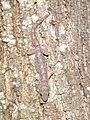 Hemidactylus (9282146324).jpg