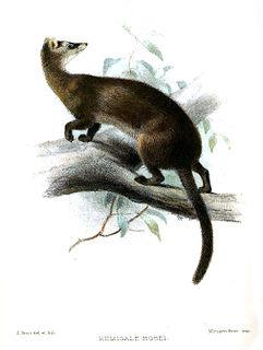Hoses palm civet species of mammal