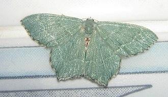 Common emerald - Image: Hemithea aestivaria