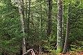 Hemlock Forest (4) (33001911715).jpg