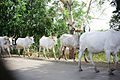 Herding Bovine in Ashanti.jpg