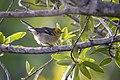 Hermit Warbler (29354775097).jpg