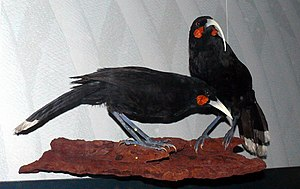 Huia - Taxidermy exhibit of a pair at Museum für Naturkunde, Germany