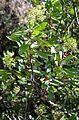 Heteromeles arbutifolia Toyon ჰეტერომელესი.JPG