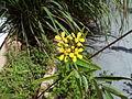 Heteropterys angustifolia - flowers - flores.jpg