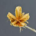 Hibiscus - 02.jpg