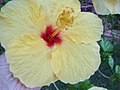 Hibiscus Flower-Taormina-Sicilia-Italy-Castielli CC0 HQ - panoramio - gnuckx (2).jpg