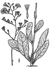 Hieracium-gronovii03