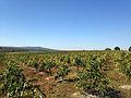 High density Maluma orchard on Avondshoek.jpg