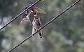 Hill swallow IMG 6296.jpg