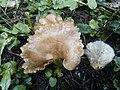 Hohenbuehelia petaloides.jpg