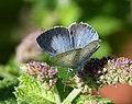 Holly Blue. Celastrina argiolus. 2nd brood (36256011350).jpg