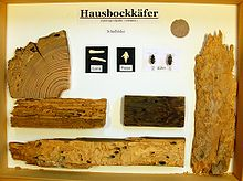 hausbock wikipedia. Black Bedroom Furniture Sets. Home Design Ideas