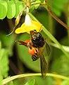 Honey Bee gathering pollen image by Dr. Raju Kasambe DSCN4801 (7).jpg