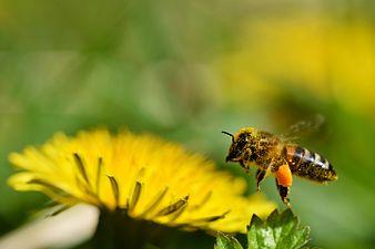 Honney bee (31246406364).jpg