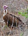 Hooded Vulture (Necrosyrtes monachus) (32466950623).jpg