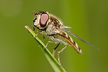Hoverfly perched on grass.jpg