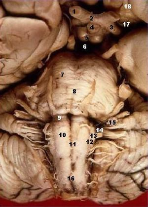 Hypoglossal nerve - Image: Human brainstem anterior view description