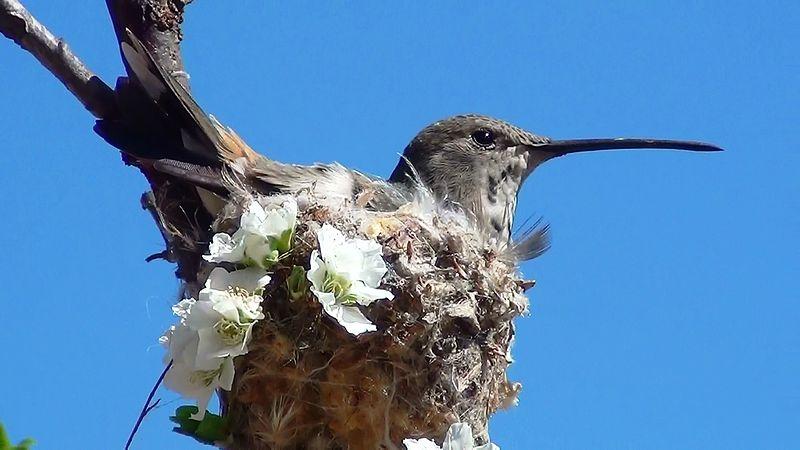 File:Hummingbird Incubating3.jpg