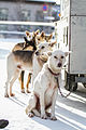 Hundene til Ketil Reitan (8436626400).jpg