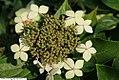 Hydrangea macrophylla macrophylla normalis 1zz.jpg