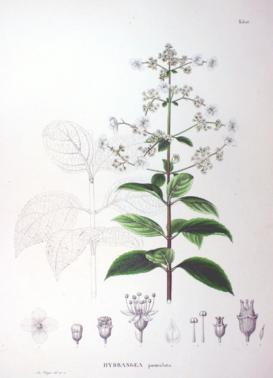 Hydrangea paniculata ботаническая иллюстрация