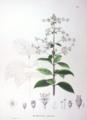 Hydrangea paniculata SZ61.png