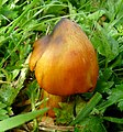 Hygrocybe conica - Flickr - gailhampshire.jpg