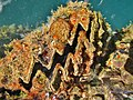 Hyotissa hyotis Mamoudzou.jpg