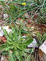 Hypochoeris radicata Habitus 2010-4-12 CampodeCalatrava.jpg